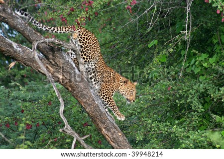 Kalahari leopard climbing down tree, Botswana - stock photo
