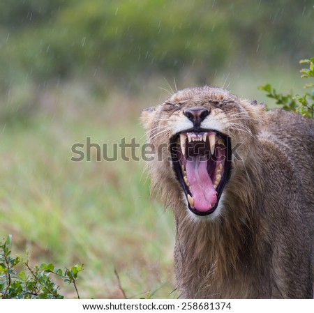 Kalahari Lion Yawning in the rain - stock photo