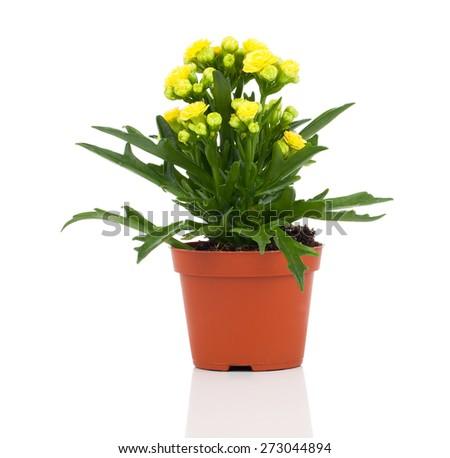 Kalanchoe blossfeldiana flower in pot on white background - stock photo