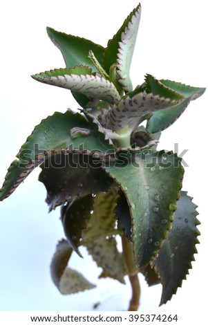 Kalanchoe, succulent flowering plants in the family Crassulaceae - stock photo