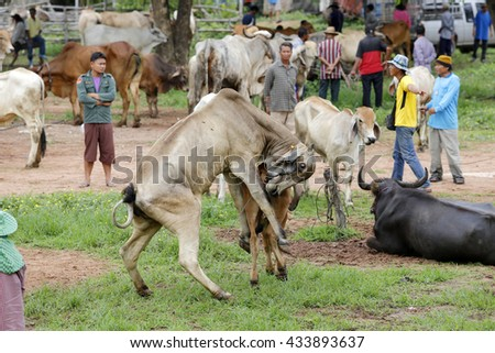 KALASIN THAILAND - JUNE 9 : A lot of Asian cow for sell on June 6,2016 at Kalasin cow and buffalo market Thailand