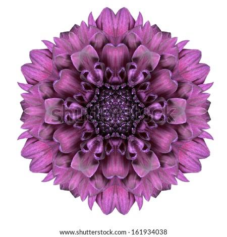 Kaleidoscopic Chrystanthemum  Flower Mandala  Isolated on White Background - stock photo