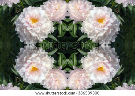 Kaleidoscopic pattern of white sunny peony flowers in botanical garden with bumble bee  - stock photo