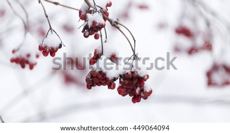 Kalina red in the snow in the winter in nature - stock photo