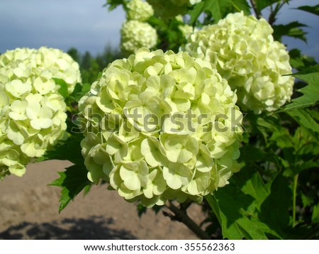Kalina shrub large ballshaped white flowers stock photo edit now shrub with large ball shaped white flowers photo closeup mightylinksfo