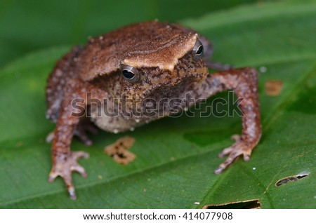 Kalophrynus Baluensis Kinabalu Sticky Frog - stock photo
