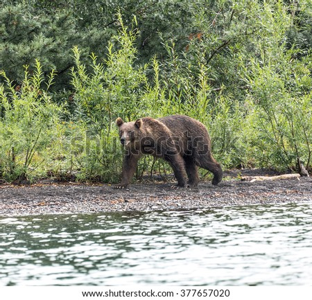 Kamchatka brown bear catches fish in the lake Dvukhyurtochnoe - Kamchatka, Russia