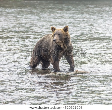 Kamchatka brown bear catches fish in the river Dvukhyurtochnaya - Kamchatka, Russia