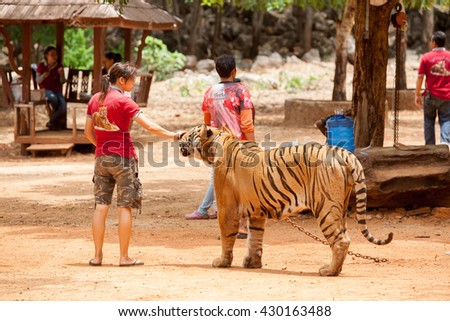 Kanchanaburi, Thailand - July 20, 2014: Staff and volunteers with Bengal tiger at the Tiger Temple on in Thailand.The Temple was founded in 1994 as a forest temple and sanctuary for wild animals.