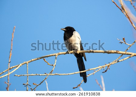 Kandalakshsky Reserve. Russia, Murmansk region. Magpie (Pica pica). - stock photo