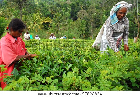 KANDY, SRI LANKA - DEC 4: Tamil women tea pickers at the plantation Decr 4, 2008 in Kandy, Sri Lanka. At this very time Government troops started attacking Tamil militants in the North of Sri Lanka - stock photo