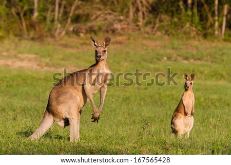 Kangaroo, Australia - stock photo