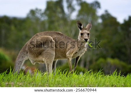 Kangaroo eating grass in a field - stock photo