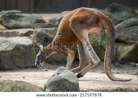 Kangaroo in Cairns, Australia. - stock photo