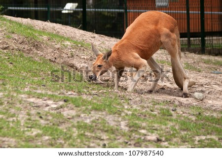 Kangaroo in the zoo - stock photo