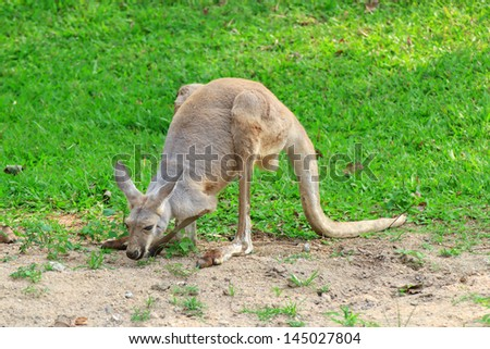 Kangaroo is open Zoo Khao Kheow, Thailand. - stock photo