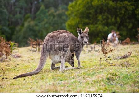 Kangaroo looking at the camera ready to hop - stock photo