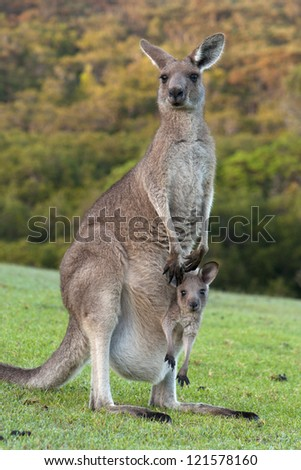 Kangaroo Mother with Baby Joey in Pouch - stock photo