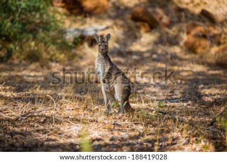 Kangaroo observing in the wild