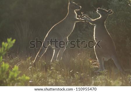 Kangaroo on grassland - stock photo