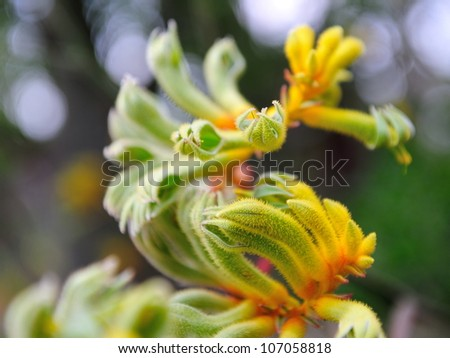Kangaroo Paws plant on display in the Flower Dome at Gardens by the Bay Singapore - stock photo