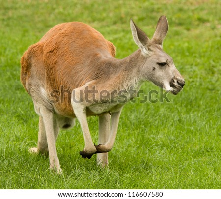 Kangaroo portrait - stock photo