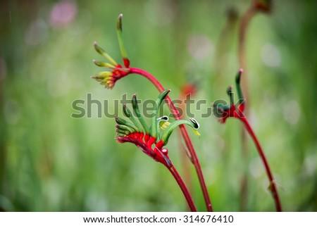 Kangaroo Pow flower West Australia symbol - stock photo