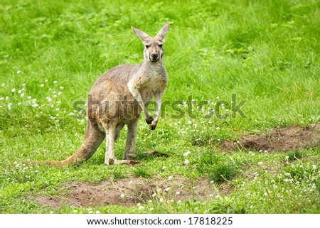Kangaroo standing in a meadow - stock photo