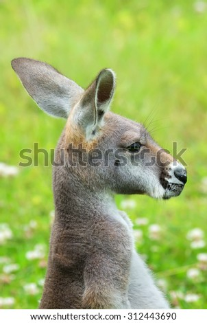 Kangaroo watching something in the distance. - stock photo