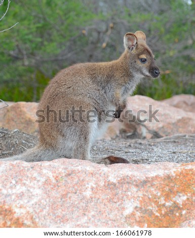 Kangaroo - Wild Wallaby in Australia - stock photo
