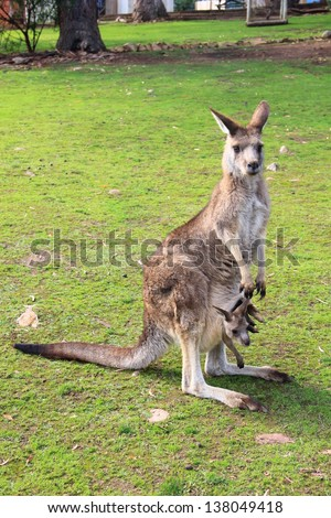 Kangaroo  With Baby Joey in Pouch - stock photo