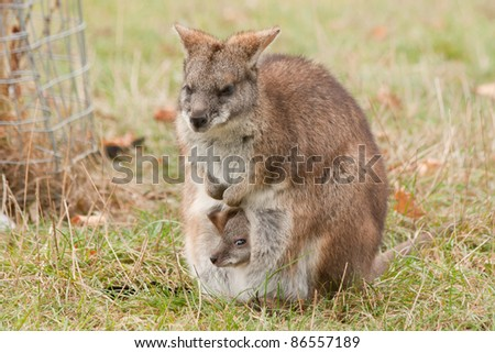 Kangaroo with little joey in pouch - stock photo