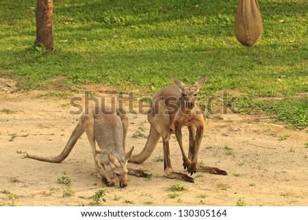 Kangaroos - stock photo