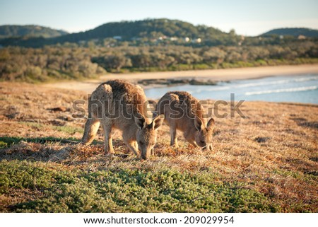 Kangaroos at Look At Me Now Headland,  Emerald Beach near Coffs Harbour - stock photo