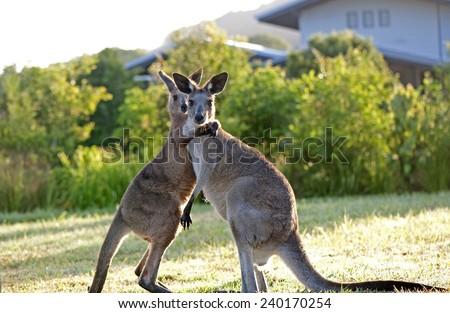 Kangaroos hugging - stock photo