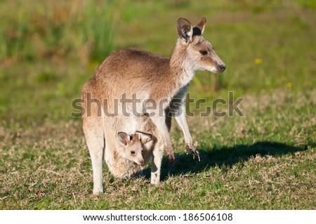 Kangaroos in the wild - stock photo