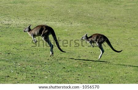Kangaroos Jumping - stock photo
