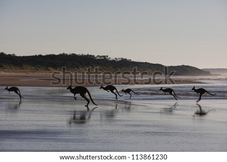 Kangaroos jumping on beach. Early morning in Australia.
