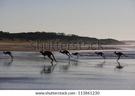 Kangaroos jumping on beach. Early morning in Australia. - stock photo