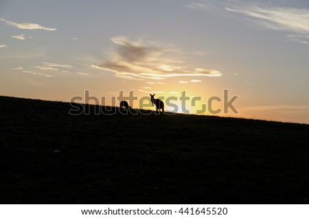 Kangaroos on a Hill at sunset creating silhouettes - stock photo