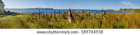 kangaroos on watch at an australian beach - stock photo