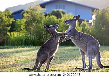 Kangaroos pushing - stock photo