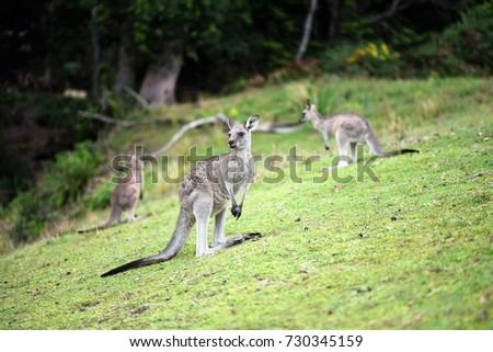 Kangaroos standing at Pebbly Beach in Murramarang National Park, Victoria, Australia