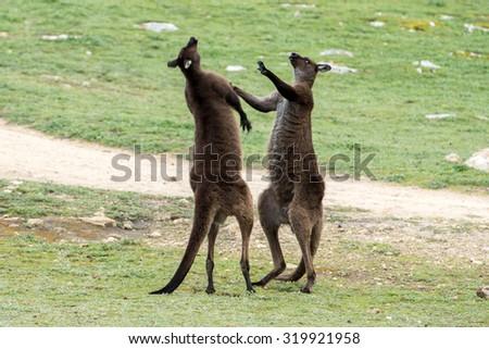 Kangaroos while fighting at sunset in kangaroo island - stock photo