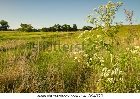 Kansas pastureland plants and flowers; wild hemlock - stock photo