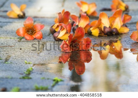 Kapok with water reflection on the ground - stock photo