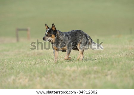 Karte Dinkum Ozzy, a pedigree Australian Cattle Dog. Australian Cattle dogs, aka blue heelers are a cross between the dingo and the blue merle collie, aka smithfield herders. - stock photo