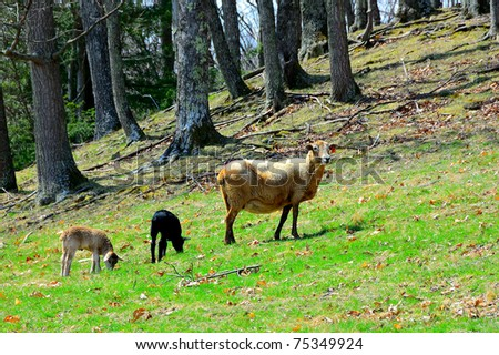 Katahdin Ewe and spring lambs, family farm, Webster County, West Virginia, USA