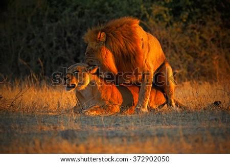 Katanga Lion, Panthera leo bleyenberghi, mating action scene, animal behaviour in the nature habitat, male and female, evening orange sun, during sunset, Chobe National Park, Botswana, Africa - stock photo
