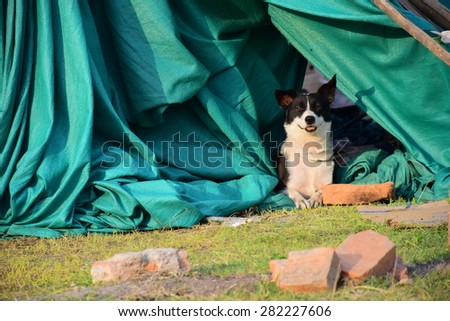 Kathmandu Nepal - May 6 2015  Dog in tent after earthquake disaster & Kathmandu Nepal May 6 2015 Dog Stock Photo 282227606 - Shutterstock